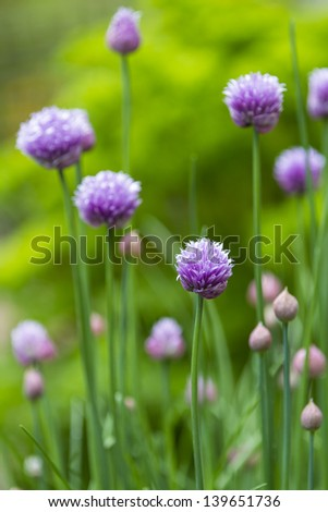 Close up of the flower of the herb chive with shallow depth of field