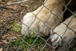 Close up of the fore paws of lion (panthera leo) through a chainlink fence
