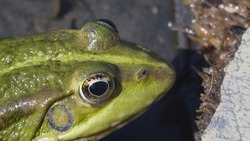 close-up of the frog's face