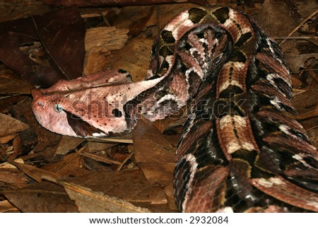 Close-up of the Gaboon Viper (Bitis Gabonica) showing it's Camouflage patterns.