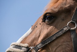 Close- up of the head of a brown horse with lots of flies on the nose and below the left eye. Blue sky