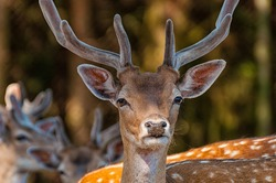 Close-up of the head of a fallow deer
