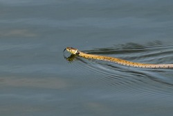 Close up of the head of a grass snake (natrix natrix) swimming, England, UK