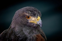 Close up of the head of a Harris Hawk taken against a bottle green background