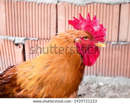 Close-up of the head of a rooster (Gallus gallus domesticus) with its beautiful orange plumage raised indoors for fattening Stockfoto ©