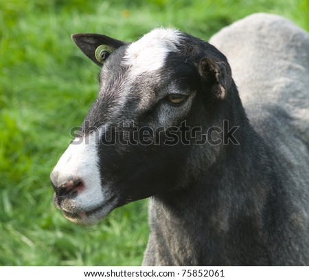 Close-up of the head of a sheep