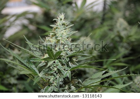 Close up of the head of a Skunk Cannabis plant