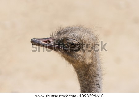 Shutterstock Close-up of the head of an ostrich (Struthio Camelus). Family Struthionidae. The largest and heaviest bird in the world. He observe us with attentive look, with his big eye, while we take the photo