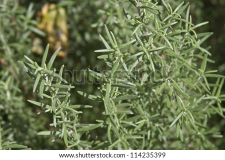Close up of the herb rosemary growing in a garden