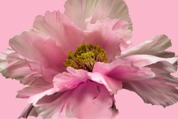 Close-up of the isolated, fully opened flower of a pink Japanese tree peony (Yachiyotsubaki flower variety) on a pink background