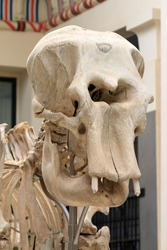 Close up of the large skull of an Elephant skeleton