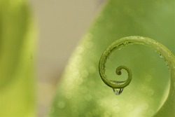 Close-up of the leaf curl tip of  the Bird's nest fern or Asplenium nidus that has water droplets.