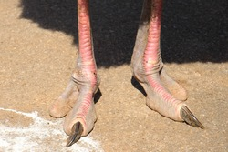 close-up of the legs of an ostrich, with its long nail and its second finger