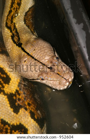 "close up of the massive head of a 23 foot 200 lb female ""reticulated python"" (Python reticulatus)"