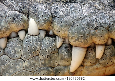 close up of the mouth and teeth of a nile crocodile