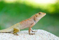 Close up of the oriental garden lizard, eastern garden lizard or changeable lizard (Calotes versicolor) in front yard.