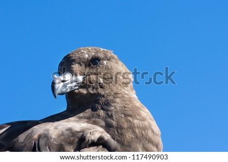 Close up of the petrel, sea bird