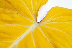 Close up of the Philodendron Gloriosum leaf turning yellow with isolated white background.