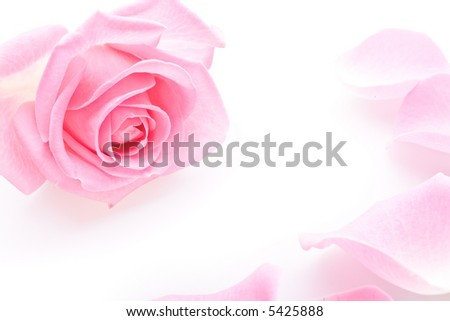 Close up of the pink rose petails on white