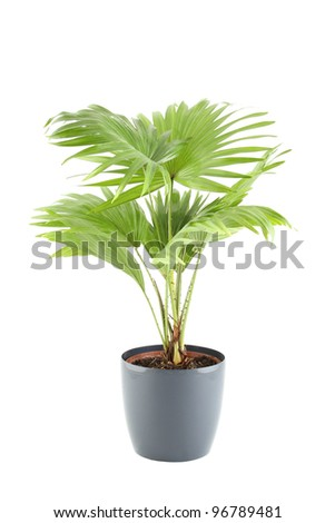 Close-up of the plant in a pot. Livistona. Isolated on white background