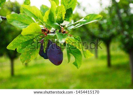 Close up of the plums ripe on branch. Ripe plums on a tree  #1454415170