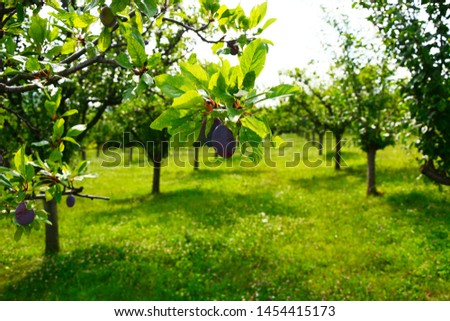 Close up of the plums ripe on branch. Ripe plums on a tree  #1454415173