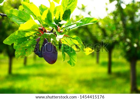 Close up of the plums ripe on branch. Ripe plums on a tree  #1454415176