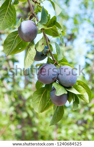 Close up of the plums ripe on branch. Ripe plums on a tree branch in the orchard. View of fresh organic fruits with green leaves on plum tree branch in the fruit garden.