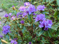 Close up of the purple, blue, violet rhododendron 'Blue Tit' flowers in full bloom. Poland, Europe