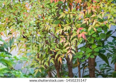 close up of the red green leaves of Nandina domestica or heavenly bamboo or sacred bamboo evergreen shrub in a garden which is an ornamental plant