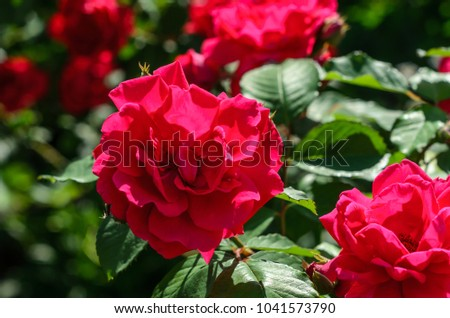 Close-up of the red rose flowers on summer #1041573790