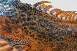 Close up of the scaly skin of a tropical reptile Red Iguana. Best and amazing background for your project. Macro photo skin of colorful exotic iguana. Skin in red, orange, yellow and blue tones.