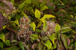 close up of the silky seed heads of a clematis vitalba in an uncultivated hedge