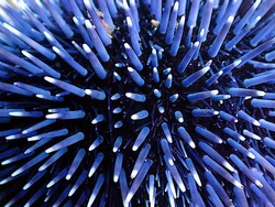 Close-up of the spikes of a brillant blue Sea urchin