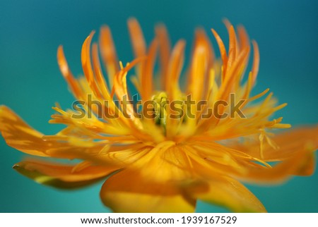 Close-up of the stamens of a trollius flower. Floral macro. macro nature. Summery macro on the stamens of a pretty yellow flower. Stock photo ©