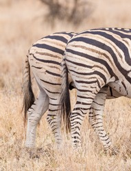 Close up of the stripe pattern on the Burchell's Zebra clearly showing the shadow stripe Kruger park South Africa