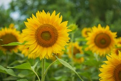 Close up of the sunflower standing out of the many. This beautiful flower, with perfect floret defined by Fibonacci, has many purposes in food industry and has lots symbolic meanings in culture.