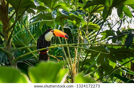 Close-up of the toco toucan. Misiones, Argentina.