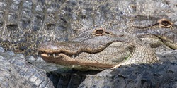 Close up of the toothy smile of one american alligator, camouflaged among many gray, gnarly, textured bodies of multiple gators, in Florida, USA