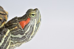Close-up of the turtle's eyes on a white background. World Turtle Day. May 23.