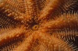 close up of the underside of common starfish showing the central mouth