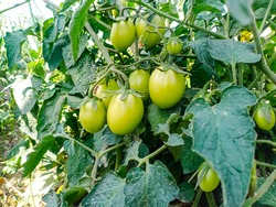 Close up of the unripe green tomatoes.Organic staked tomatoes growing on the vine.Healthy food.Cultivation of organic tomatoes.Green unripe tomatoes on the bush. Tomato farming in pakistan and india.