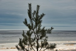 Close-up of the upper branches of a young pine tree in early spring in backlight against the background bokeh of the sea with melting grayish ice and cloudy sky.