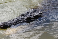 Close-up of the upper part of a massive crocodile head with open eyes ears and nostrils showing out of the water.Reptilian animal with elastic keratinized black skin in its natural habitat.Mexico