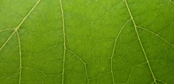 Close up of the veins on a leaf