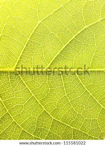 Close up of the walnut leaf texture