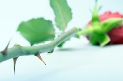 Close up of Thorns of a red rose with focus on thorn on light background