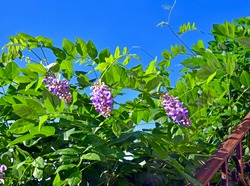 Close up of three beautiful pink Wisteria blossoms,with a rusted iron railing and a blue sky.