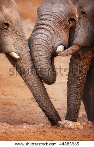 Close-up of three elephants drinking water from a  hole in the ground ; Etosha
