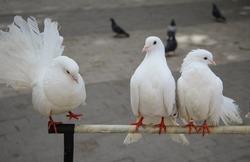 Close-up of three white ornamental pigeons